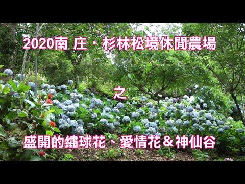 2020南庄‧杉林松境休閒農場盛開的繡球花、愛情花&神仙谷