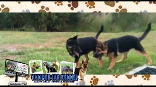Van-der-sar-kennel-german-shepherd-puppy-video.mp4