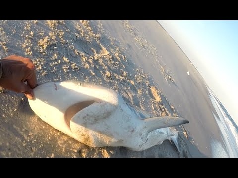 Surf Shark Fishing with PEANUT BUNKER Rigs Leaders & Hooks