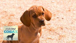 Португальский бракк (пойнтер). Планета собак 🌏 Моя Планета