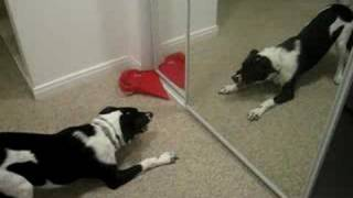round 2 - SKYY vs. the Canaan Dog in the mirror