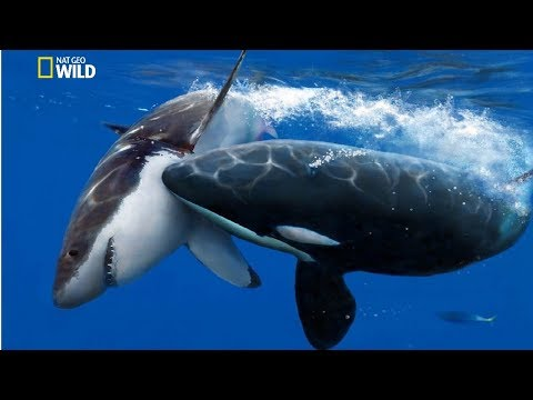 National Geographic Documentary - The Greatest Apex Predators on Earth - New Documentary HD 2018