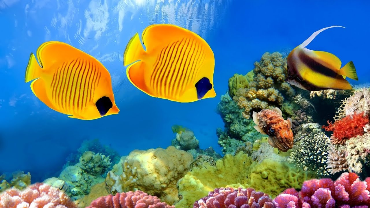 Download CORAL REEF AQUARIUM COLLECTION  「24/7」 🔴 Relaxing Music for Sleep, Study, Yoga & Meditation
