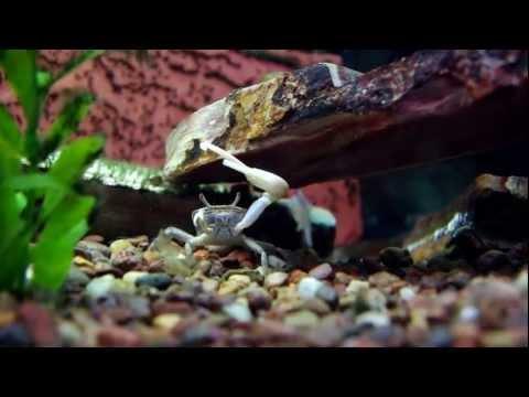 Fiddler Crab Vs Crayfish Then Techno Dance