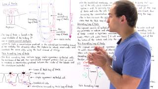 Countercurrent Multiplier System and Loop of Henle