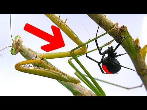 Deadly Redback Spider Vs Giant Praying Mantis Bug War Round 1