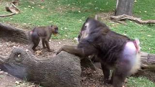 Mandrills acting like humans - the Columbus Zoo