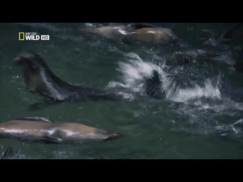 Fur Seals Battle for Survival