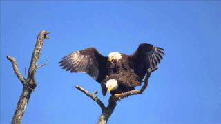 Bald Eagles Mating Near Susquehanna River in Maryland