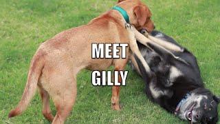 Meet Gilly!
