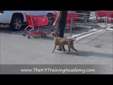 The K9 Training Academy - Remy - Advance Obedience