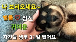 영월 국견 토종진돗개 흑황구 범돌♡ 네눈박이 정선 자견…