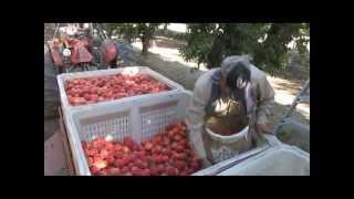 California Peach Harvest