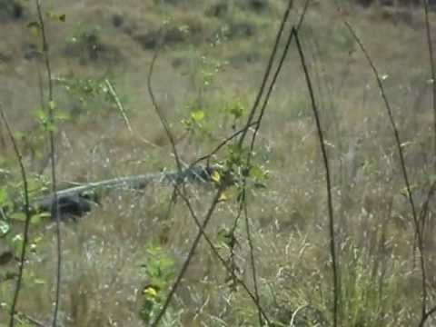 Komodo Dragon - Komodo National Park, Loh Buaya - summer 2012 Travel Video