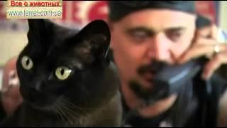 Бурма ♥ бурманская короткошерстная кошка для ребенка ♥ Cats burmese самая популярная порода кошек