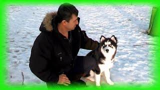 Сибирский Хаски Дартаньян, Безупречное Воспитание