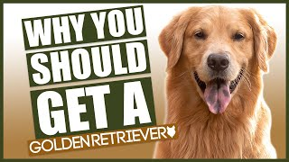 GOLDEN RETRIEVER! 5 Reasons Why YOU SHOULD Get A Golden Retriever!