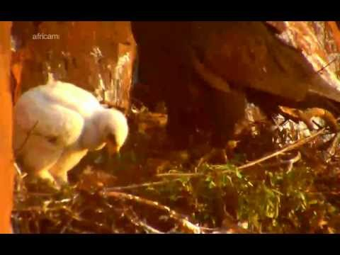 African Black Eagle July 7, 2012 at 7:45 am CAT and 1:45 am EDT.avi