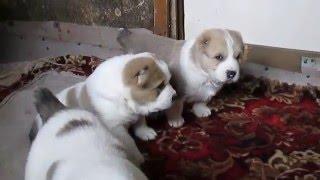 Продаются щенки алабаи (САО )от чемпионов России.