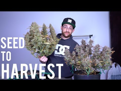 BEGINNERS HARVEST GUIDE: AUTOFLOWER SEED TO HARVEST SUMMARY