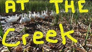 Ducks At The Creek Morning Rush #18 Raising Ducks For Charity