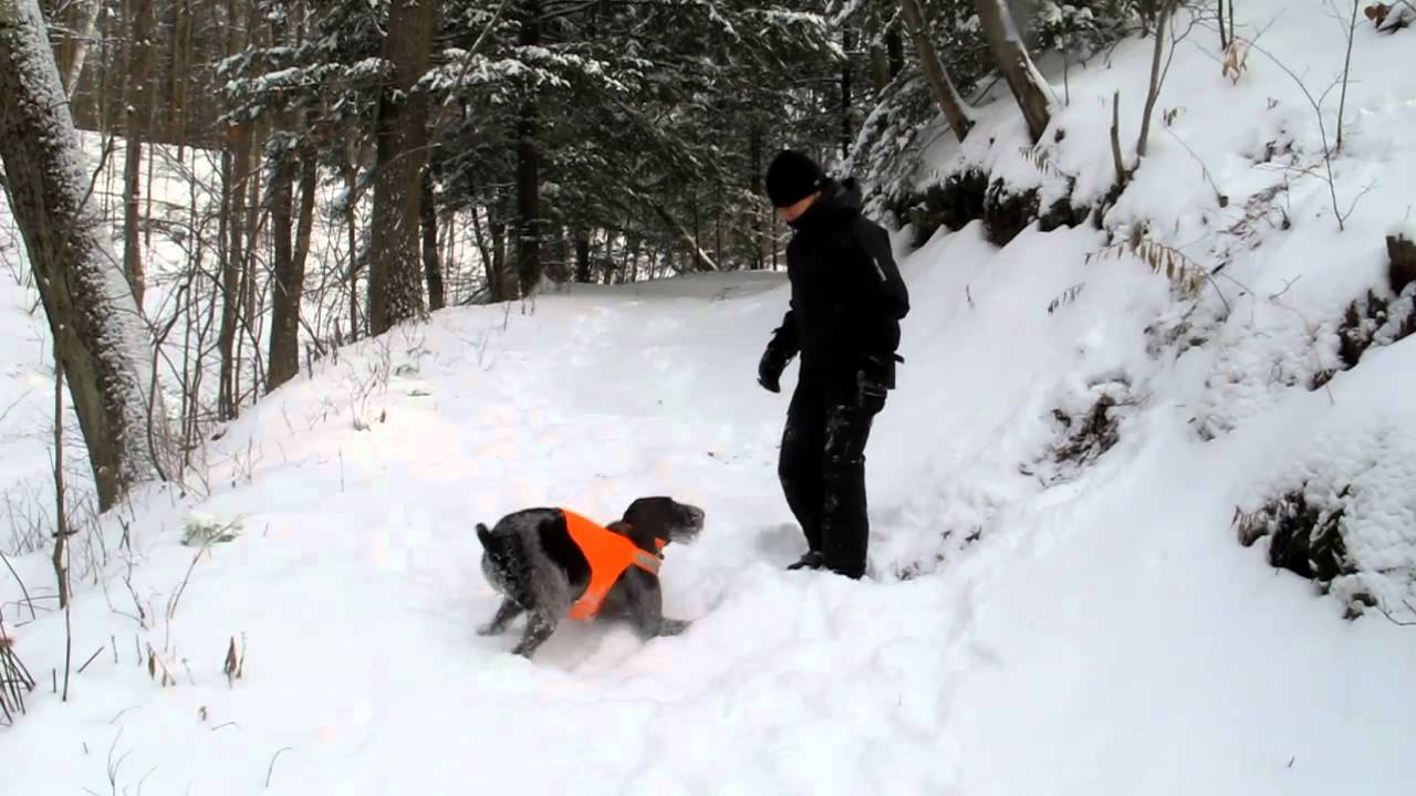 German Wirehaired Pointer - Phoebe & Wyeth having a Snow Day - YouTube