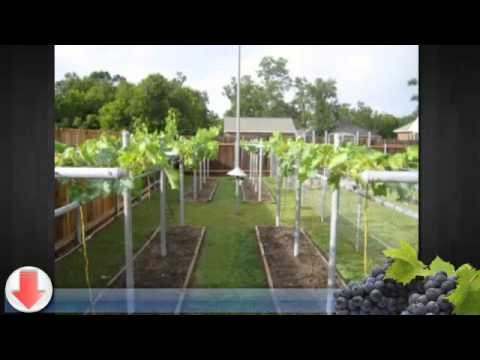 Small Backyard Vineyard how to grow grapes in your backyard - youtube