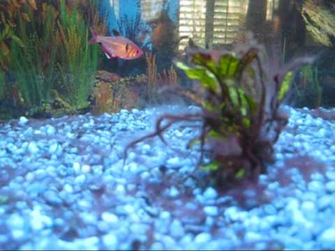 Fish tank infected with black beard algae youtube for Fungus in fish tank