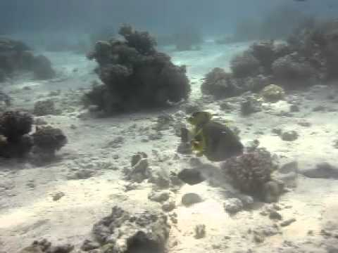 Trigger Fish, Shaab Elerg, 13m, 60min, Reef, Boat, Calm, None