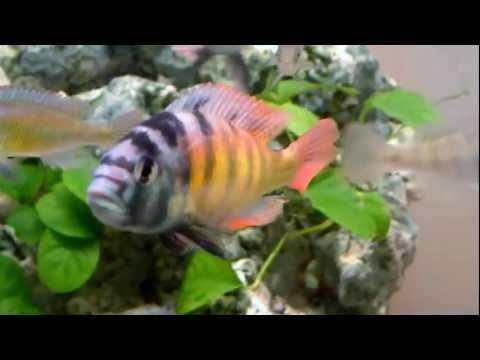 Haplochromis thereuterion doovi for Zierfisch shop