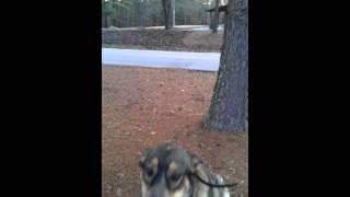 "2.5yo Cattle Dog Mix ""marina"" Practicing Place - Dog Training Raleigh Durham"