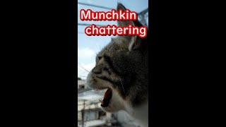 【ショート】猫(マンチカン)のクラッキング - Munchkin chattering - #shorts