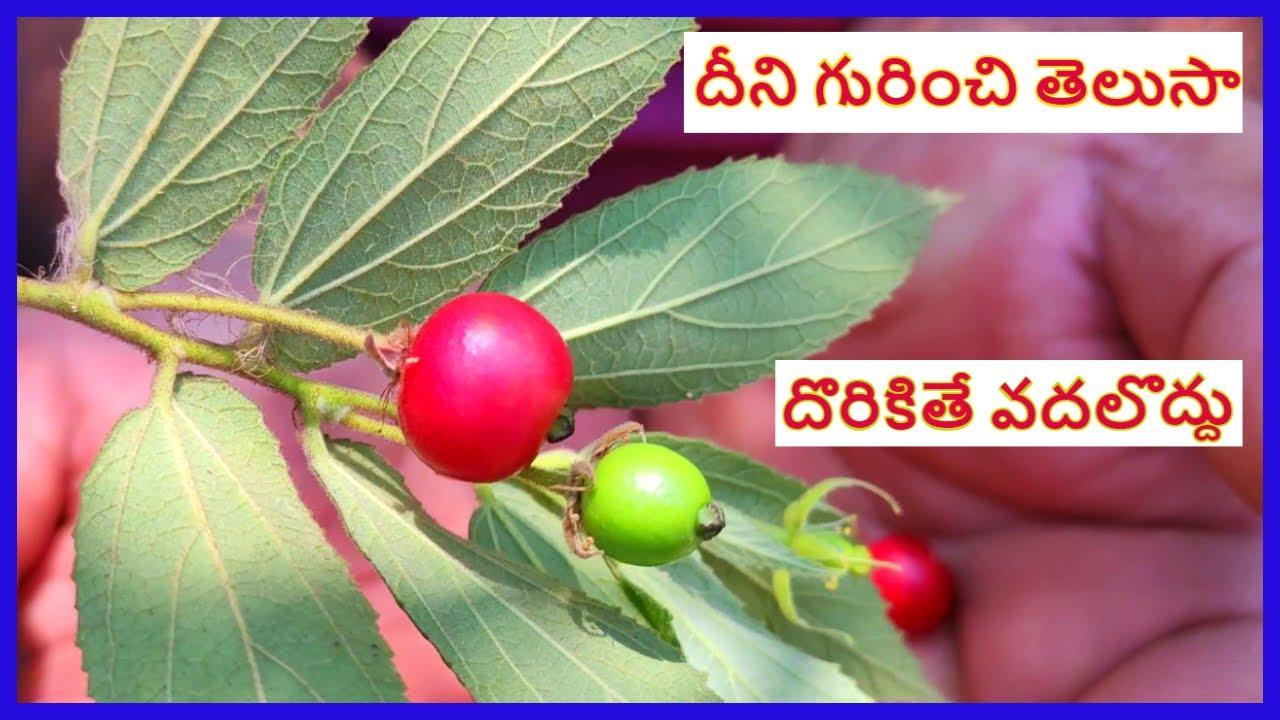 ఈ పళ్ళు 12 తిని చూడండి    Singapore cherry uses in telugu    ఈ పండులో అన్ని ఔషదలే    free fruit