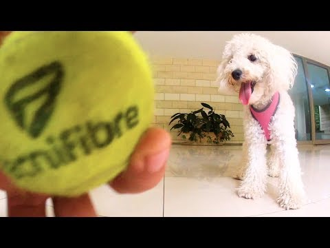 toy poodle playing fetch