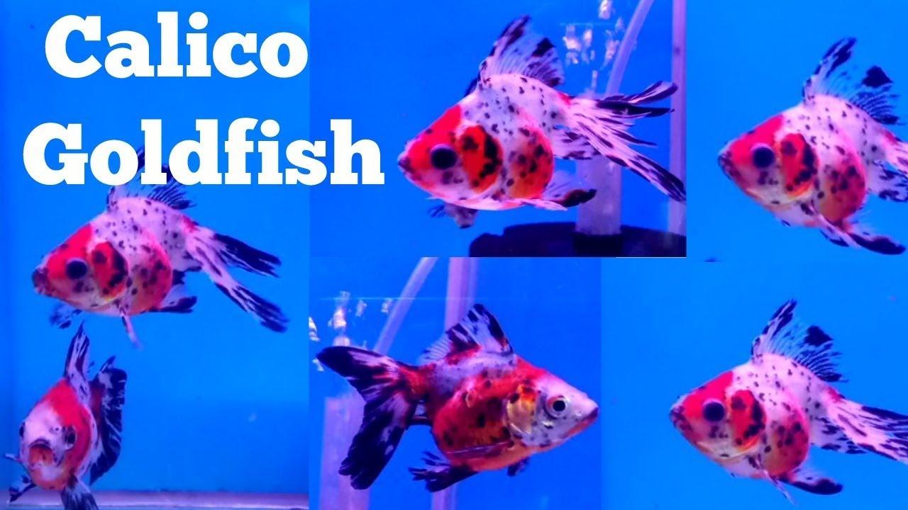 Fancy Goldfish At Pari Aquarium Fish Shop Kurla