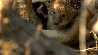Newborn wild lions
