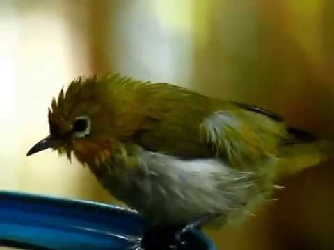 Mountain white eye bathing.