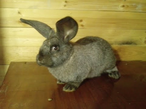 Кролик, Блохи И Глисты - Защищаем Кролика От Паразитов. Все О Домашних Животных.