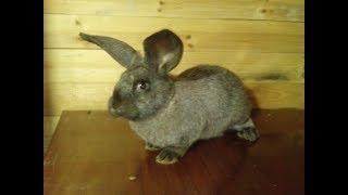 кролик породы Полтавское серебро\ кролиководство(, 2015-08-13T15:34:01.000Z)