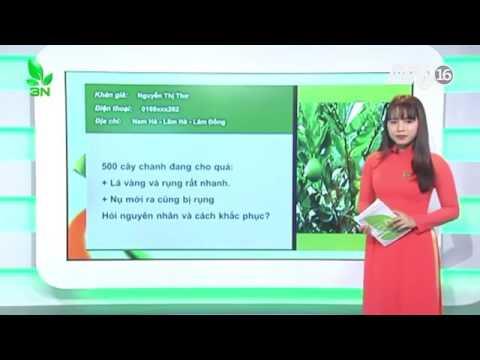 Cây chanh bị thiếu dinh dưỡng bệnh vàng lá thối rễ chữa thế nào?