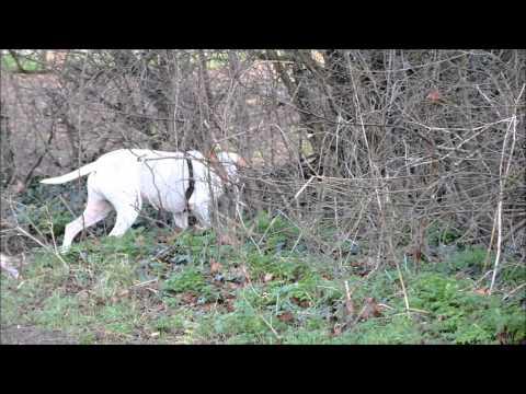 Angel English #Pointer #Dog Tracking Pigeon#Rushden
