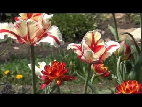 Сериал Цвет черемухи смотреть онлайн бесплатно!