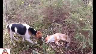 Hunting a Fox with Russian hounds.  Охота на лису с русскими гончими