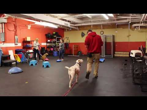 Dong Training | Duke rocking his long line recall | Solid K9 Training Dog Training