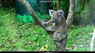 このコアラは地面を走っていたのだが撮影出来なくて残念。でも、これだ...
