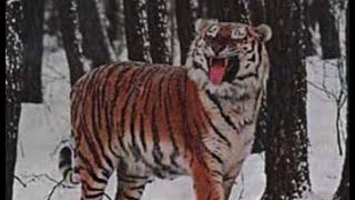 Lone male Siberian tiger patrolling territory,It's getting out of our sight
