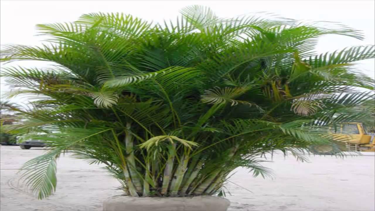 Arecabambu,palmeiraareca (Dypsis lutescens)  YouTube