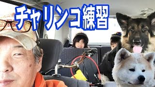 grandchild and German Shepherd dog Dogs and bicycles 秋田犬は元気に...