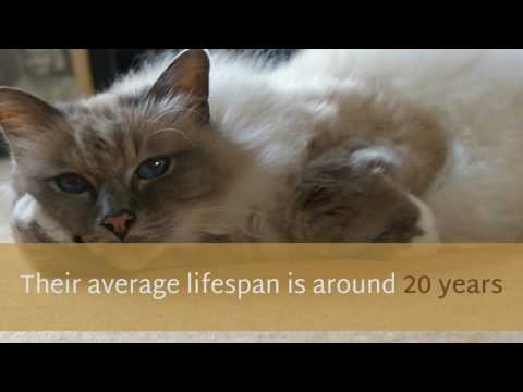 11 Facinating Facts You May Not Know About Birman Cat