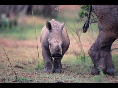 "Funny Talking Animals: Call of the Wild - Baby Rhino ""I'll save you mom"" - Earth Rangers"